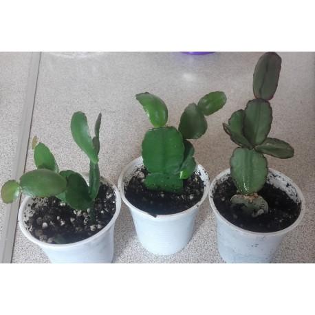 wielkanocny kaktus HATIORA COMANCZE